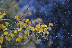 Flocons d'automne (jeangrgoire_marin) Tags: autumn fall snow snowflake weather leaves bokeh