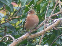 Chaffinch Beauty (river crane sanctuary) Tags: bird chaffinch rivercranesanctuary nature wildlife