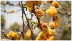 Conservación / Conservation (Claudio Andrés García) Tags: árboles trees thorn naturaleza nature rama espina limb fotografía photography shot picture macro yellow amarillo cybershot flickr