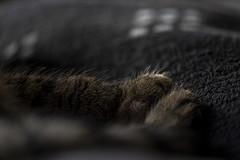 20191109_Fritzi-11 (www.arternative-design.com) Tags: nikondeutschland nikoneurope animal animals cats cat catportrait catcontent fritzi nikkor105mm nikon nikond810 pets