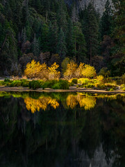 Cottonwood Trees Against Shadowed Pines (Jeff Sullivan (www.JeffSullivanPhotography.com)) Tags: park fall colors photography national workshop yosemitenationalpark yosemitevalley california travel usa nature night lens landscape photo nikon photographer nikkor yosemitevillage mariposacounty d850 november copyright jeff october sullivan 2019 cottonwood trees reflection yellow yosemite hdr photomatix
