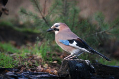 20191113121304_IMG_0054 (Switch62) Tags: hbn7 vogels gaai birds jay