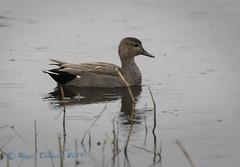 Gadwall (drake) 06 (Roger Dickens) Tags: gadwall anasstrepera marshlane warwickshire pentaxk3 pentaxdfa150450mm duck wetland surfacefeeding