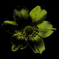 Anemone alpina L. (flowerplant) Tags: blume blüte staude alpen alps flower yellow gelb anemone ranunculaceae