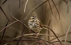 Savannah sparrow (schreckpeter45) Tags: bird sparrow songbird savannahsparrow