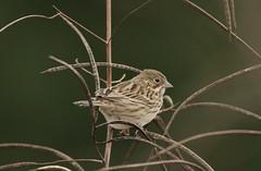Vesper sparrow (schreckpeter45) Tags: bird sparrow vespersparrow songbird