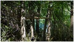 En el bosque / In the forest (Claudio Andrés García) Tags: árboles trees madera wood bosque forest naturaleza nature peumos fotografía photography shot picture cybershot flickr