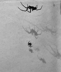 Photo of Black and white spiders