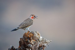 Male Northern Flicker (Curt Bianchi) Tags: northernflicker flicker bird coyotehills sanfranciscobayarea