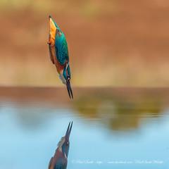 Diving Kingfisher (www.facebook.com/PaulSmithWildlife) Tags: wildlife nature birds scotland autumn springwatch bbcspringwatch autumnwatch