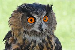European eagle owl - Falconry fair (Mandenno photography) Tags: animal animals dierenpark dierentuin dieren ngc nature nederland netherlands natgeo natgeographic tilburg falconry fair falconryfair bird birds birdofprey owl owls eagle eagleowl discovery bbcearth bbc
