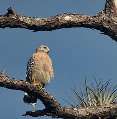 Sentry (SDRPhoto321) Tags: redshouldered hawk florida corkscrew sanctuary predator bird