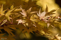 On a golden ray of light (Irina1010) Tags: leaves foliage yellow golden maples treees autumn nature canon coth5 ngc npc