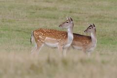 Female Fallow Deer-Dama dama (Phasmomantis) Tags: female fallow deerdama dama mammal nature uk wildlife bbc springwatch pentax autumn kmount