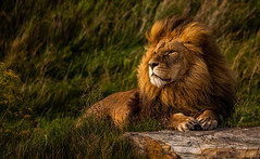 Windswept Lion-1 (tiger3663) Tags: lion yorkshire wildlife park windswept