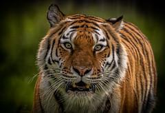 Tschuna - Focussed-1 (tiger3663) Tags: amur tiger tschuna yorkshire wildlife park focussed
