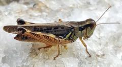 Migratory Grasshopper (adamantine) Tags: acrididae grasshopper melanoplinae melanoplini species melanoplussanguinipes