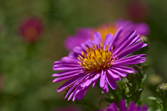 Pink Aster (pstenzel71) Tags: blumen natur pflanzen aster darktable flower bokeh