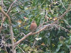 Chaffinch Rests (river crane sanctuary) Tags: bird chaffinch nature wildlife rivercranesanctuary