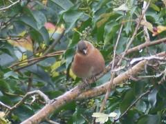 Chaffinch Here (river crane sanctuary) Tags: chaffinch rivercranesanctuary nature wildlife bird