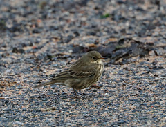 Rock Pipit (ray 96 blade) Tags: rockpipit birds wildlife springwatch broadstairs kent