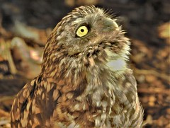 Burrowing Owl (Bob Silver ☺) Tags: burrowing owl bird
