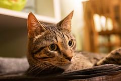 Mittens is art (JaaniicB) Tags: mittens canon eos 77d sigma 1750mm f28 cat domestic animal fur