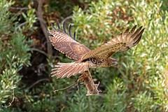 IMG_8620 (Gabriel Gabi) Tags: 7dii sigma california red tailed hawk