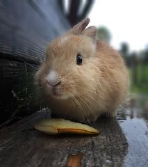 Figlio di Rosina, sotto la pioggia con fetta di pera (Fiorenzo Delegà) Tags: rabbit coniglio cucciolo photomanipulation manipulation