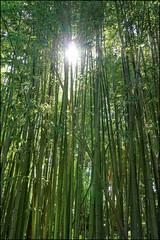 Bamboo, Marimurtra   Blanes, Catalonia (Flemming J. Gade) Tags: marimurta botalicalgarden plants green blanes catalonia bamboo