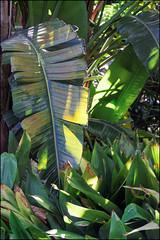Banana Leaves, Marimurtra   Blanes, Catalonia (Flemming J. Gade) Tags: marimurta botalicalgarden plants green blanes catalonia bananaleaves