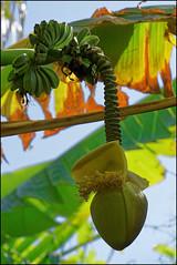 Bananas, Marimurtra   Blanes, Catalonia (Flemming J. Gade) Tags: marimurta botalicalgarden plants green blanes catalonia bananas
