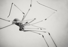 Cellar spider - focus stacked (Mark Hickton) Tags: macrorings macro cellarspider spider focusstacking