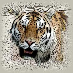 IMG_9140 Tiger (SØS'Art) Tags: animal digiart digitalartwork art kunstnerisk manipulation solveigøsterøschrøder artistic eyes filterforge painting photomanipulation photoshop teeth tiger wild nature 100views