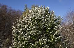 The Battle Of Fall And Winter (Diane Marshman) Tags: fall autumn season leaves trees bradford pear corkscrew willow blue sky bluesky snow scene pa pennsylvania state nature