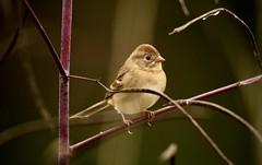 Field sparrow (schreckpeter45) Tags: bird sparrow fieldsparrow songbird