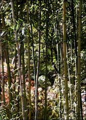 Not My Neighbors Bamboo... (angelakanner) Tags: canon70d tamron18400 bamboo longhousereserve longisland