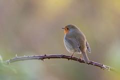 Autumn Robin (Gareth Keevil) Tags: autumn autumnbird bird birds garethkeevil humber humberhead malebullfinch nikon nikon500mmpf nikond500 northcave robin sunshine telephoto uk yorkshire yorkshirewildlifetrust
