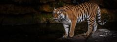 Tschuna on the Rock-1 (tiger3663) Tags: amur tiger tschuna yorkshire wildlife park rock