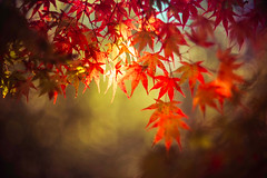Hope of Light (moaan) Tags: ernstleittzwetzlarsummarexf85cm kobe hyogo japan momiji japanesemaple glow glowing red tintedleaves secretly light rayoflight transparency autumncolors autumnleaves bokeh bokehphotography dof utata 2019 leica mp type240 summarex 895mm f15 leicasummarex85mmf15
