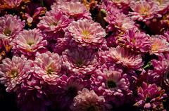 Pink Flowers (JeffStewartPhotos) Tags: pink flowers flowerbed dsc1948 worldwidephotowalk wwpw2014 kelby kelbyone photowalk 2014 elora ontario canada