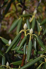 COLD ! (esywlkr) Tags: green foliage rhododendron nature nc northcarolina nationalforest pisgahnationalforest