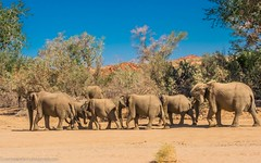Desert elephants (Steppenwolf33) Tags: dessert elephants namibia riverbed animals mammals steppenwolf33 kunene dryness