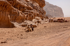 Camels Resting in Wadi Rum (Jill Clardy) Tags: asia jordan wadi rum te lawrence desert red sand camels 201810294b4a9921 rest resting ride dusty windy sandy
