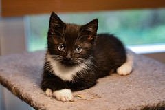tuxedo lady (ingus.brikmanis) Tags: feline animals animal portrait nikon cute kitten kitty denmark cat cats katte