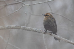 Rusty Blackbird | Euphagus carolinus | Quiscale rouilleux (Paul B Jones) Tags: princeedwardcounty bird rustyblackbird euphaguscarolinus quiscalerouilleux ontario canada vulnerable iucn nature wildlife pointtraverse princeedwardpointnationalwildlifearea canoneos1dxmarkii ef600mmf4lisiiiusm 14xiii