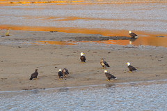 Afternoon Get Together (Neal D) Tags: bc mission nicomenslough bird eagle baldeagle haliaeetusleucocephalus