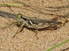 Melanoplus fluviatilis, male (tigerbeatlefreak) Tags: melanoplus fluviatilis insect grasshopper orthoptera acrididae wisconsin