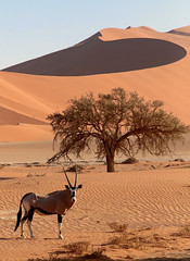 Sossusvlei Oryx (peterkelly) Tags: digital canon 6d africa intrepidtravel capetowntovicfalls namibia namibdesert namibnaukluftreserve sossusvlei oryx sandy sand dunes dune blue sky tree antelope
