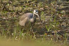 White-faced Heron (Luke6876) Tags: whitefacedheron heron bird animal wildlife australianwildlife nature